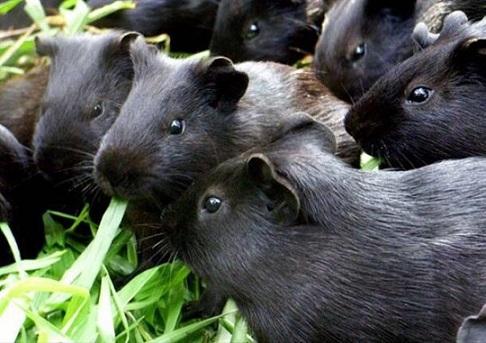 黑豚种苗,宠物,母150到200克,自家养殖场繁殖,包活包健康