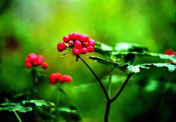 一年生三七苗 正宗云南文山三七种苗盆栽三七籽条 田七苗种子